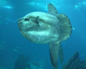 океанская рыба-солнце